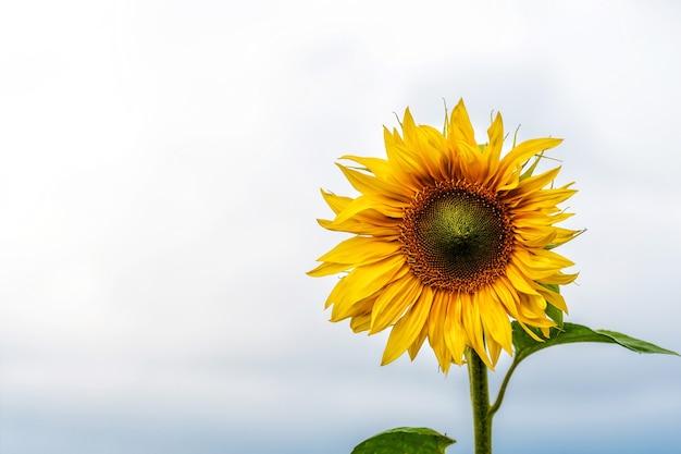Campo de girassóis ao sol, paisagem de flores vibrantes e brilhantes no verão, lindas flores do sol, muitas plantas com folhas exuberantes