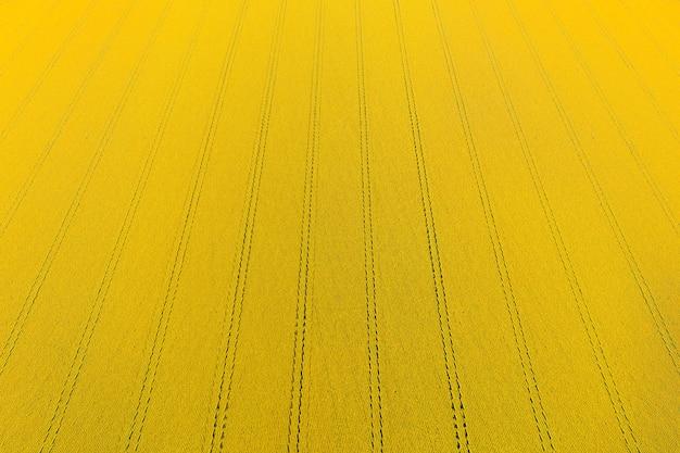 Campo de girassóis com flores amarelas de grande altura