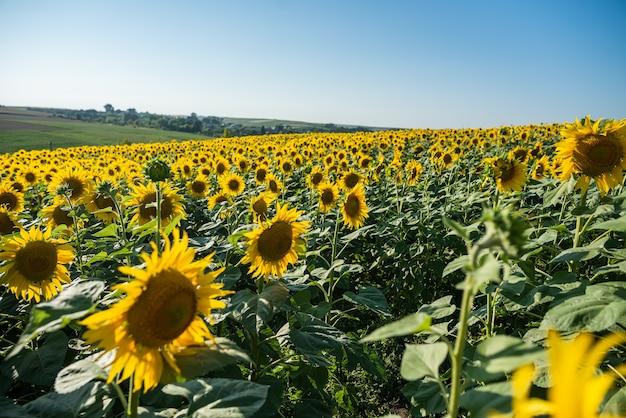 Campo de girassóis com lindas flores amarelas de perto
