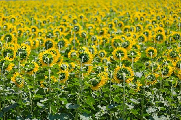 Campo de girassóis em dia de verão