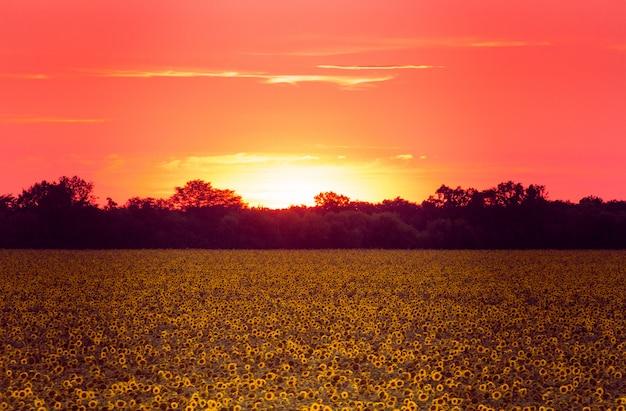 Campo, de, girassóis, em, pôr do sol