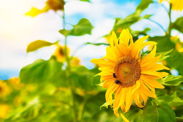 Campo de girassóis florescendo com abelha