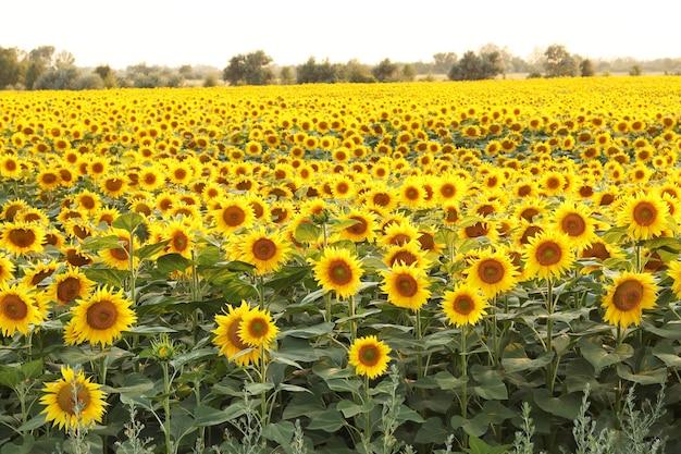 Campo de girassóis florescendo em um pôr do sol de fundo, paisagem de verão, colheita de girassol