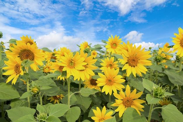 Campo de girassóis florescendo no fundo do céu azul