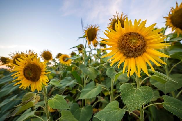 Campo de girassóis maduros amarelos brilhantes de florescência. agricultura, produção de petróleo, beleza da natureza.
