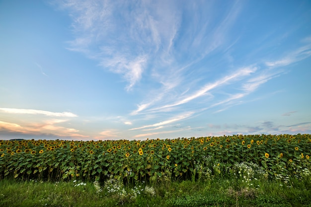 Campo de girassóis maduros amarelos brilhantes de florescência.