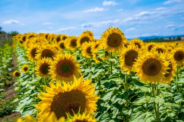 Campo de girassol aberto no verão olhando para o sol