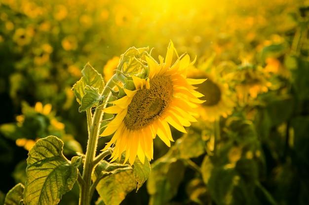 Campo de girassol ao pôr do sol de perto