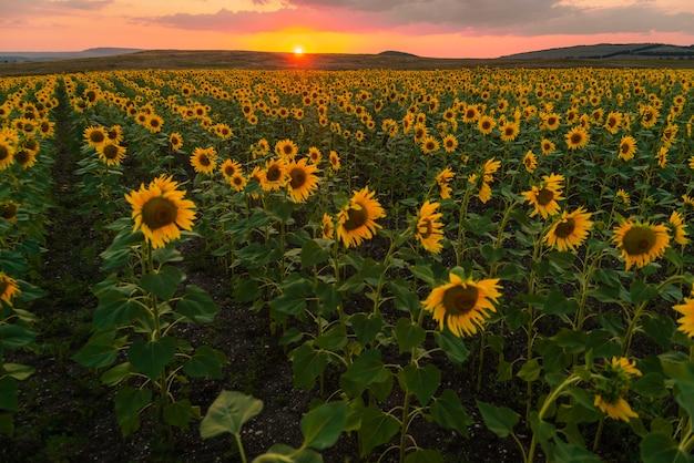 Campo de girassol ao pôr do sol no verão