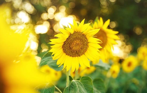 Campo de girassol colorido. lindos girassóis florescendo no campo
