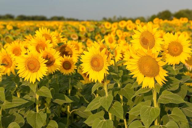 Campo de girassol dourado brilhante ao pôr do sol.