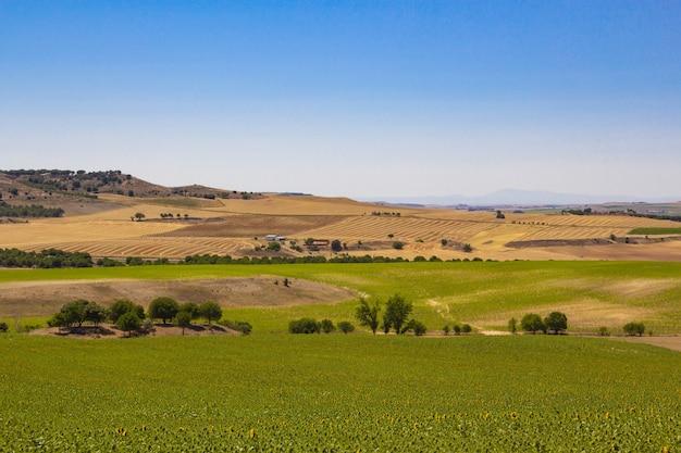 Campo de girassol e cereais com céu azul. campo de colheita. agricultura.