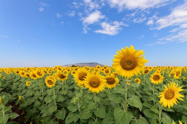 Campo de girassol lindo no verão com céu azul