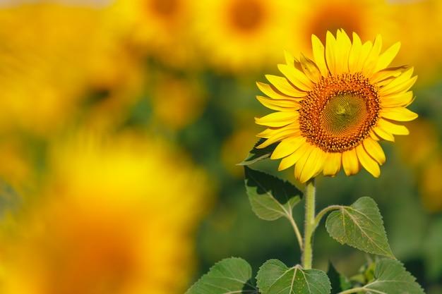 Campo de girassol no pôr do sol