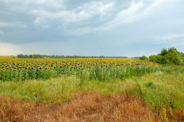 Campo de girassol paisagem close-up em dia ensolarado de verão