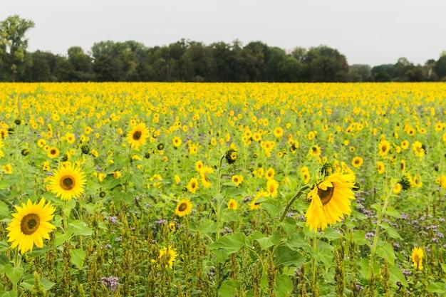 Campo de girassol plantado para sementeira para produção de óleo.