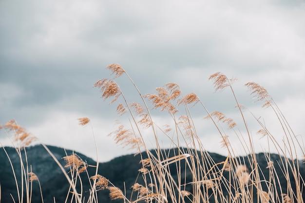 Campo de grama alta no outono, japão