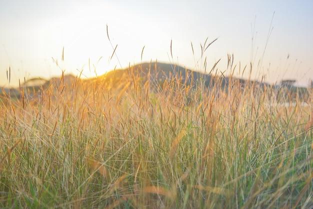 Campo de grama borrada com luz suave no tempo do por do sol.