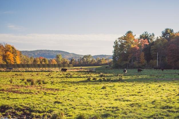 Campo de grama com vacas no distante em um dia ensolarado com árvores e céu azul
