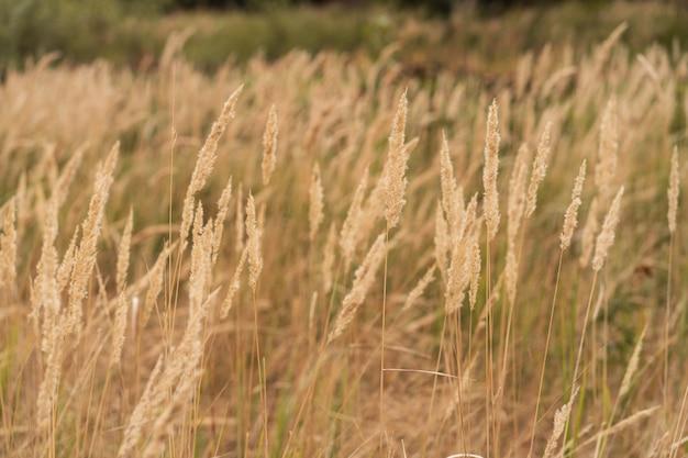 Campo de grama de savana na luz de fundo do sol, cintilação com luz solar ao meio-dia.