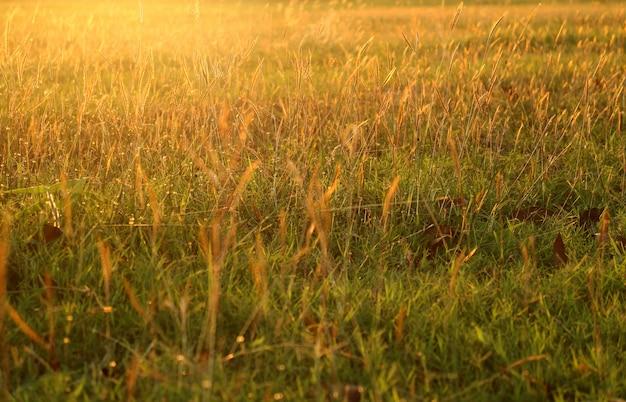 Campo de grama dourada sob a luz do sol