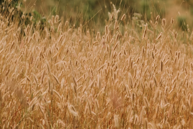 Campo de grama dourada