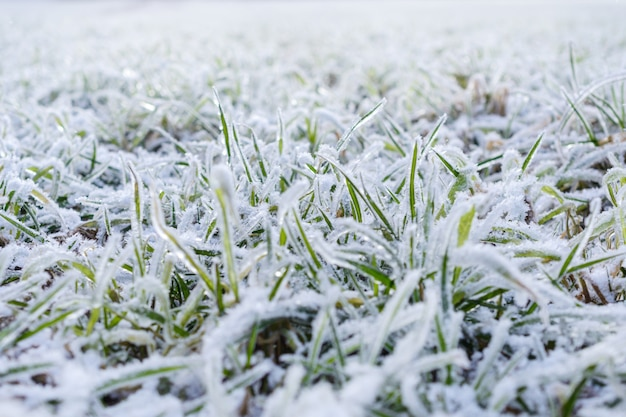 Campo de grama verde coberto de geada. profundidade superficial de campo.
