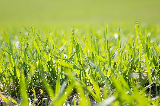 Campo de grama verde jovem, closeup. grama jovem primavera. campo, de, trigo jovem