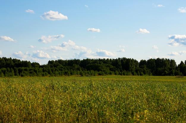 Campo de grama verde, uma floresta no horizonte e um céu azul em um dia de verão