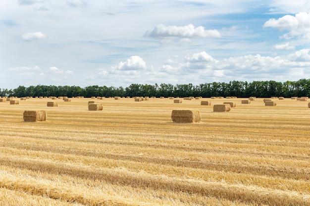 Campo de grãos colhidos de cereais, trigo, cevada, centeio, com palheiros