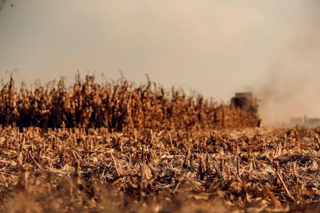 Campo de grãos pronto para ser colhido no outono. colheita de milho