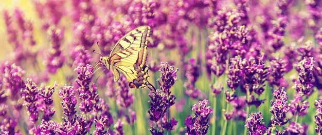 Campo de lavanda desabrocham. borboleta em flores.