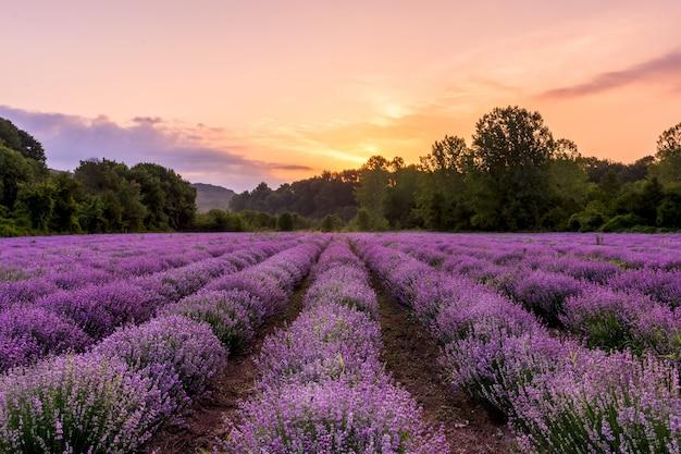 Campo de lavanda. flores scented de florescência da alfazema bonita com céu dramático.