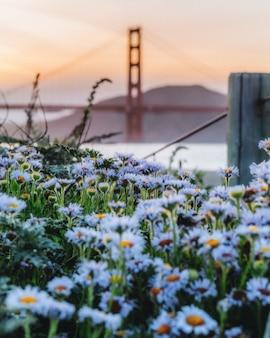 Campo de lindas margaridas azuis em flor