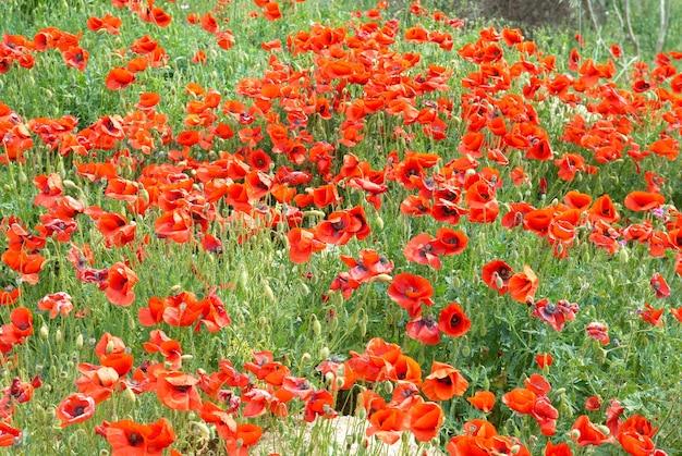Campo de lindas papoulas vermelhas com grama verde