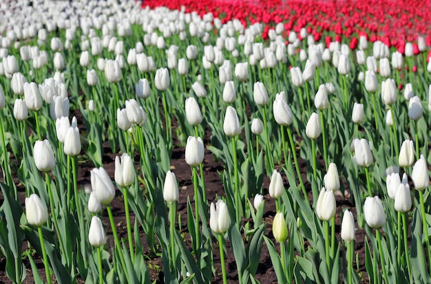 Campo de lindas tulipas em tempo de primavera