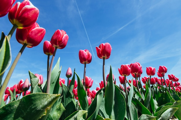 Campo de lindas tulipas na holanda