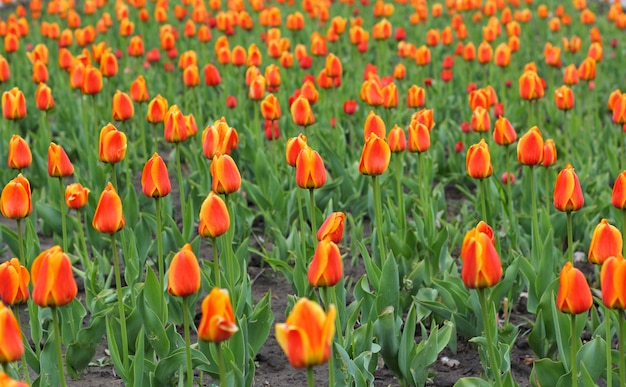 Campo de lindas tulipas vermelhas em tempo de primavera