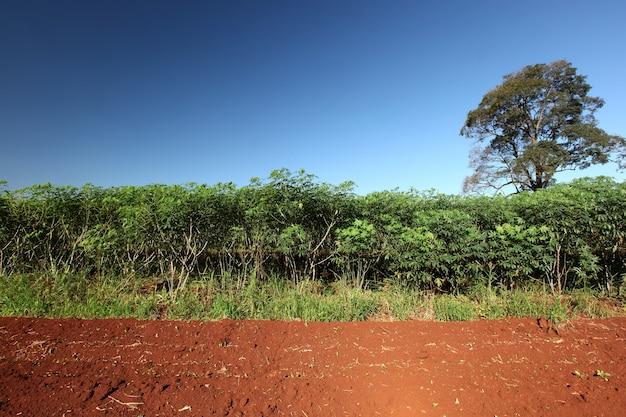 Campo de mandioca (mandioca, tapioca ou mandioca)