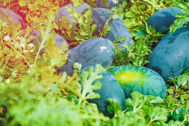 Campo de melancia