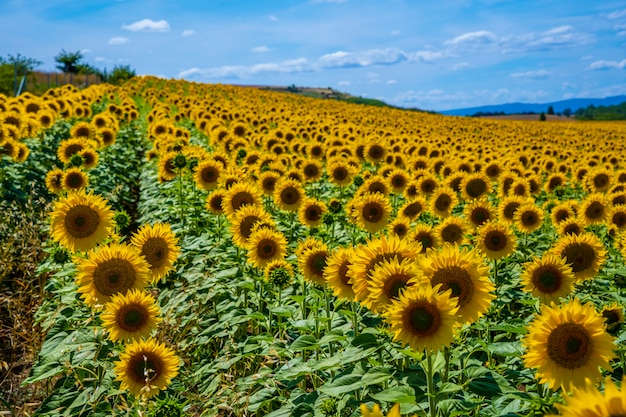 Campo de milhares de girassóis aberto no verão olhando para o sol