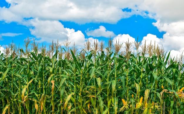 Campo de milho ao pôr do sol Foto Premium