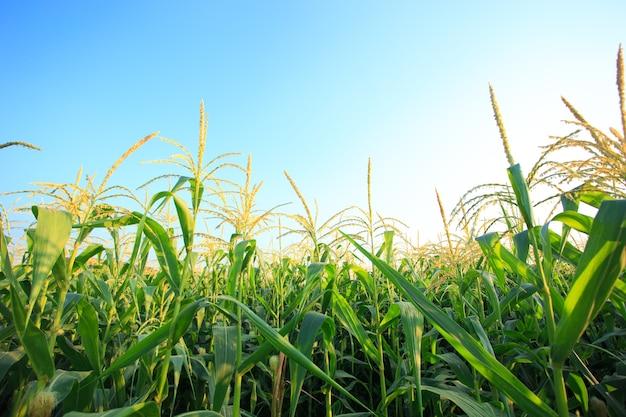 Campo de milho com céu azul.