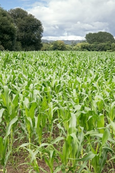 Campo de milho crescente com as árvores na parte traseira e no céu do bue. paisagem agrícola