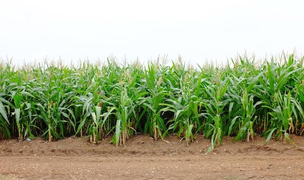Campo de milho e estrada secundária na fábrica