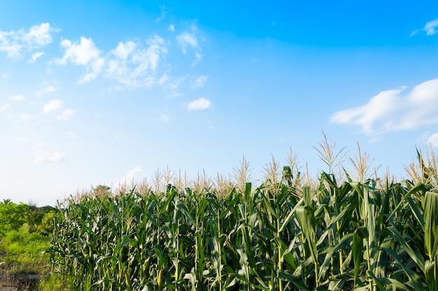 Campo de milho em dia claro, árvore de milho em terras agrícolas com céu azul nublado