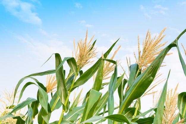 Campo de milho em dia claro