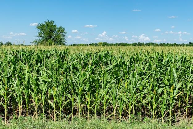 Campo de milho fresco jovem crescendo