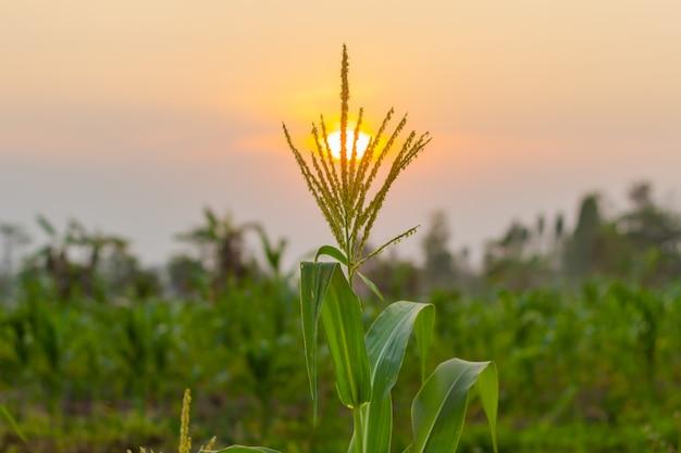 Campo de milho jovem orgânico na fazenda de agricultura no pôr do sol de noite