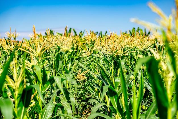 Campo de milho no fundo do céu azul
